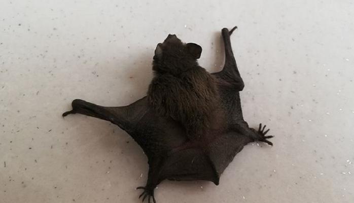 Karaman'da ürkütücü yarasa bulundu!