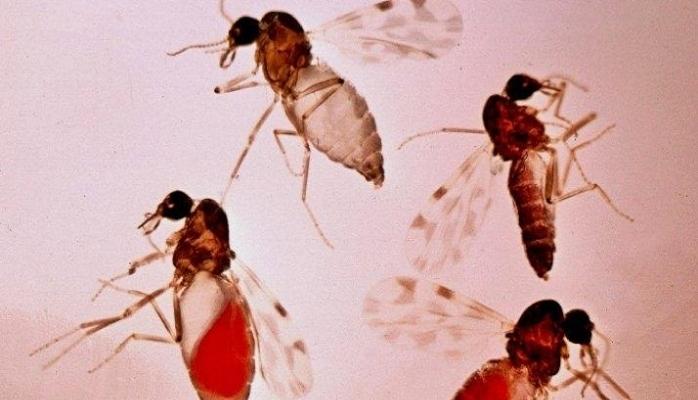 Kör eden sinek tehlikesi